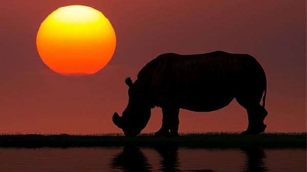 African Rhino drinking water at sunset.