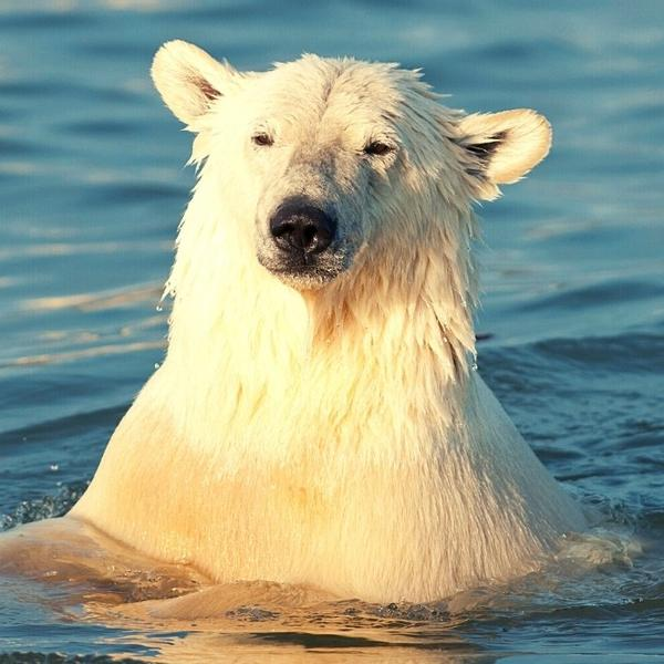 White polar bear in the water.