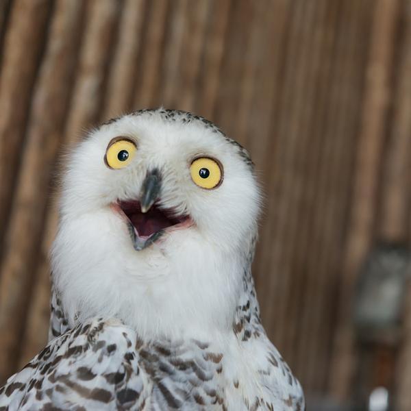 A funny owl - a magnificent bird.