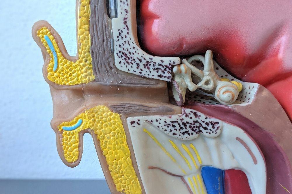 A model of the human ear anatomy.