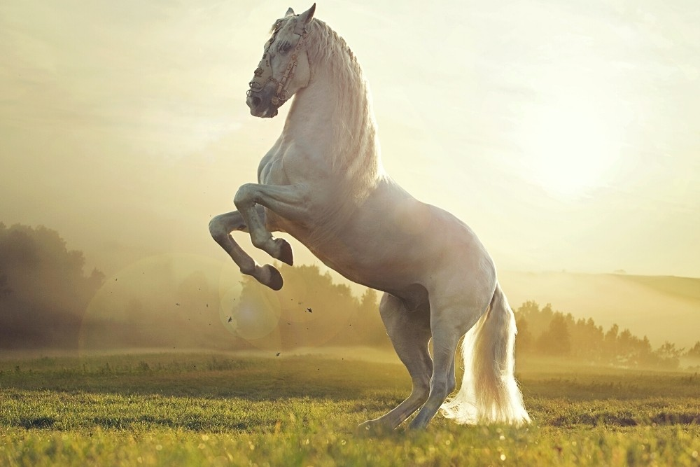 An incredible white horse is jumping.