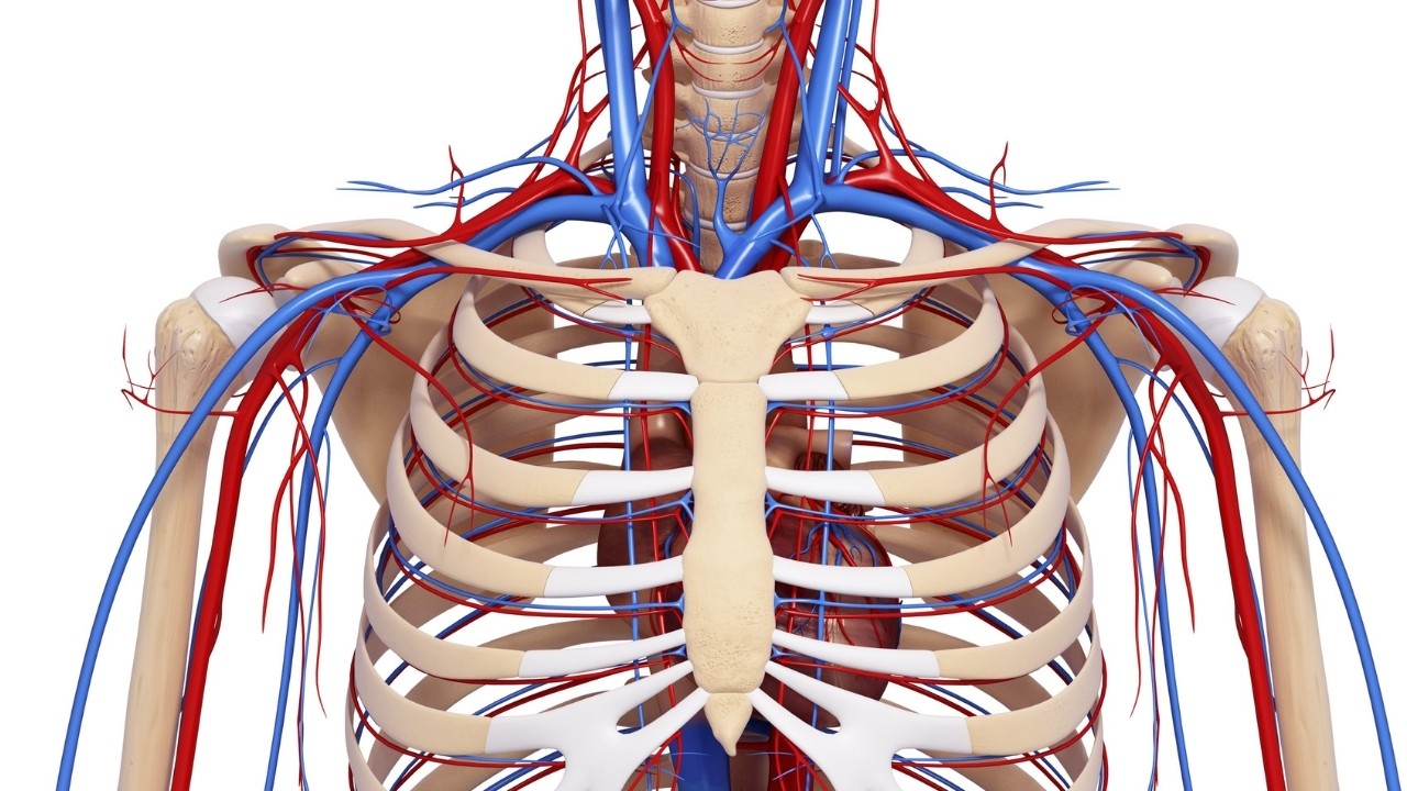 A 3D model of the internal human body systems
