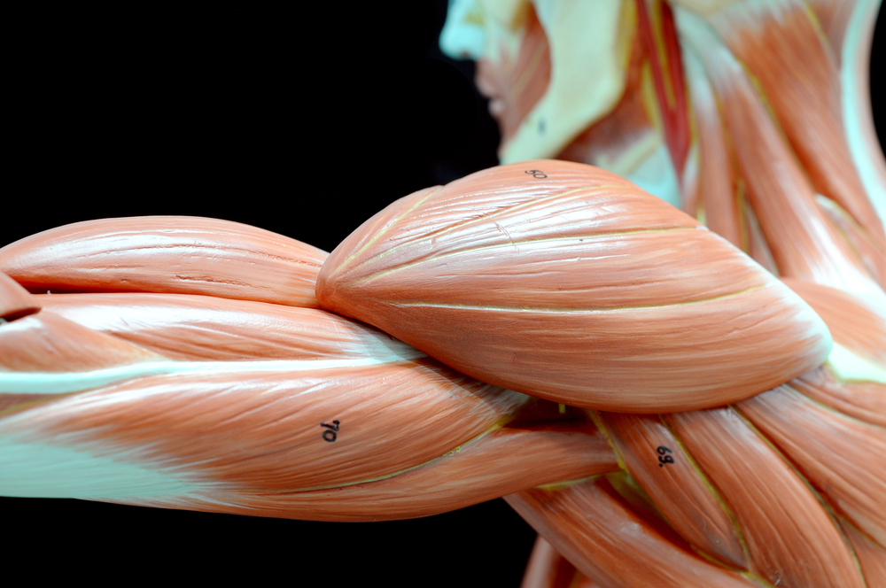 A model of the muscles in the human body arm.