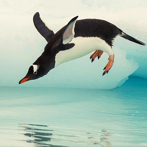 Emperor penguin jumping into the cold water.