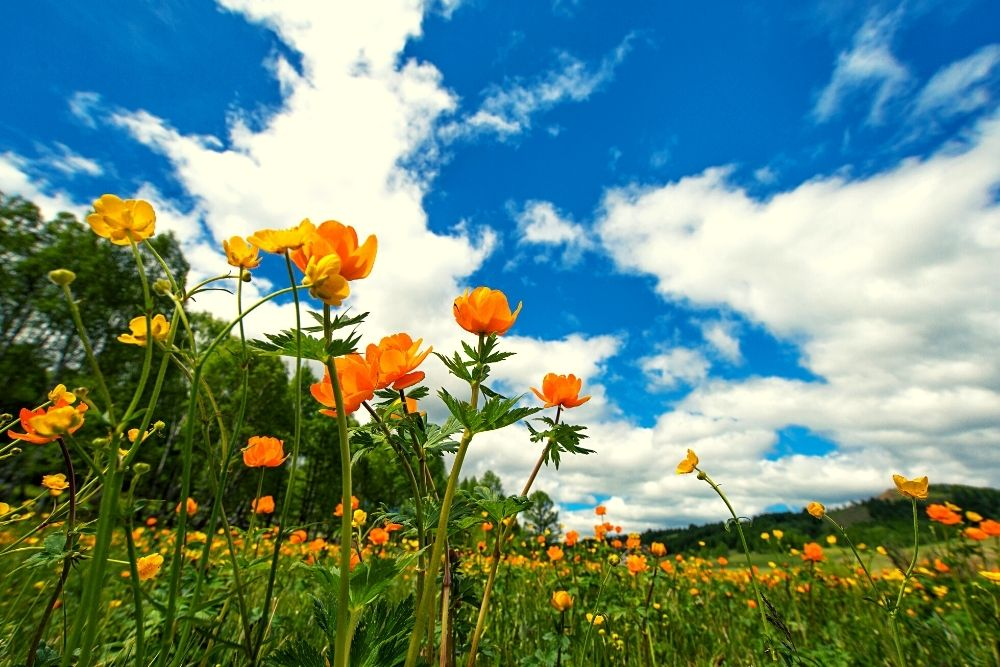 A field of orange flowers blooming in the spring.