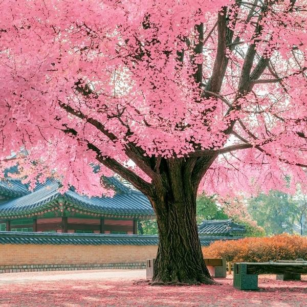 A magnificent huge tree with pink leaves.