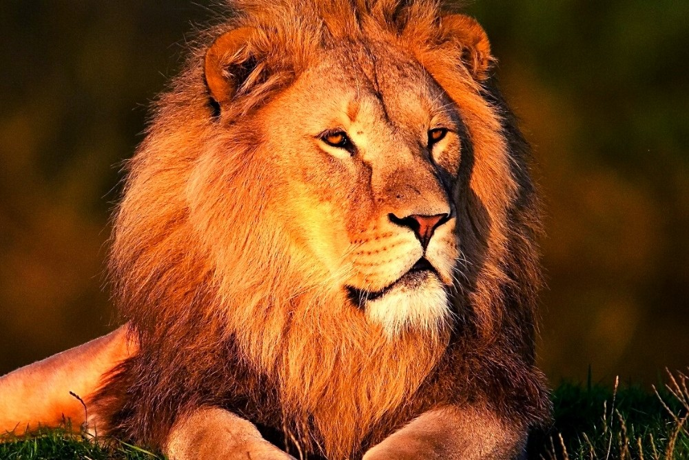 A male Lion displays looking at other animals and waiting for a prey.