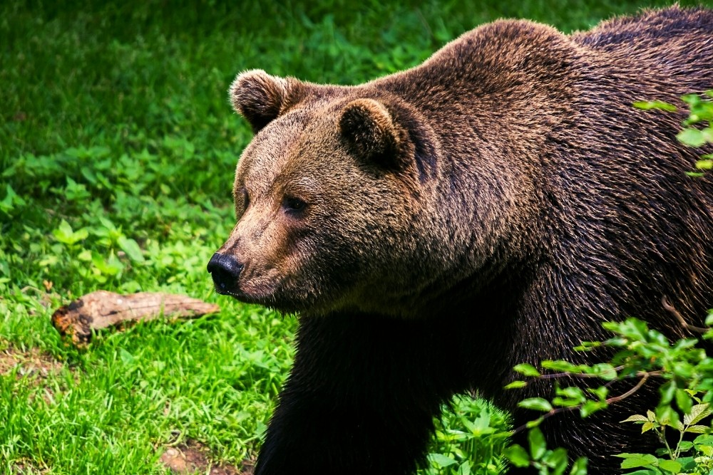 A brown grizzly bear.