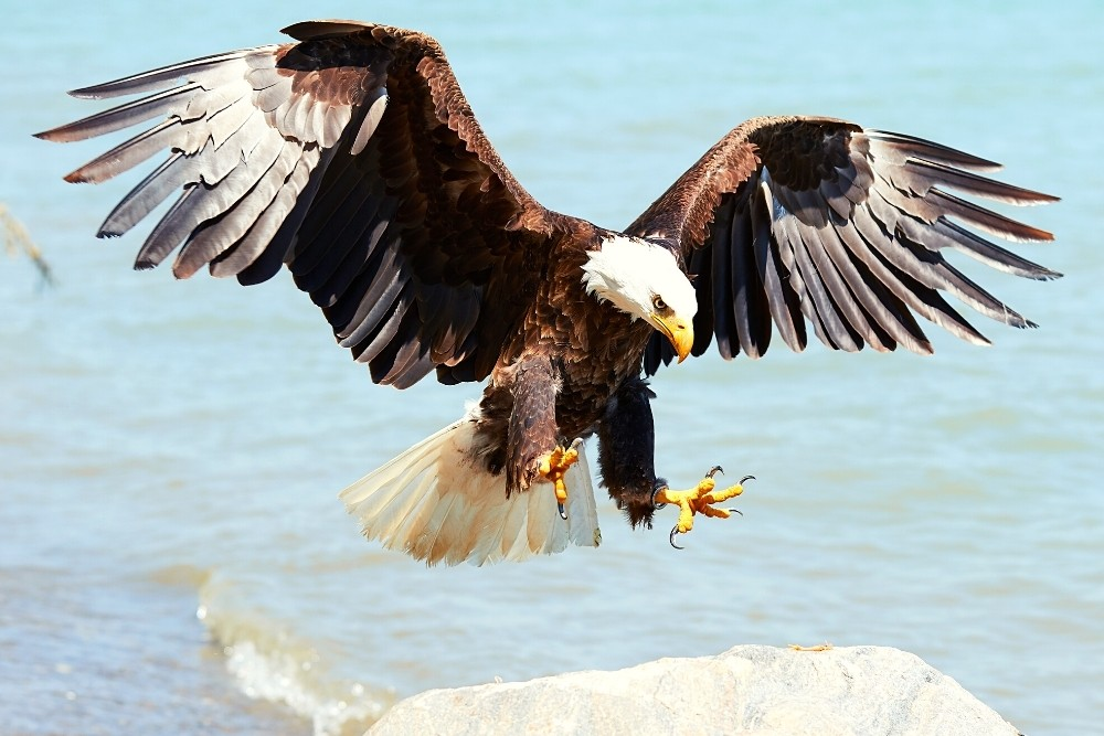 A bald eagle flying with its wings spread.
