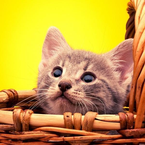 A cute kitten in a cat's basket.