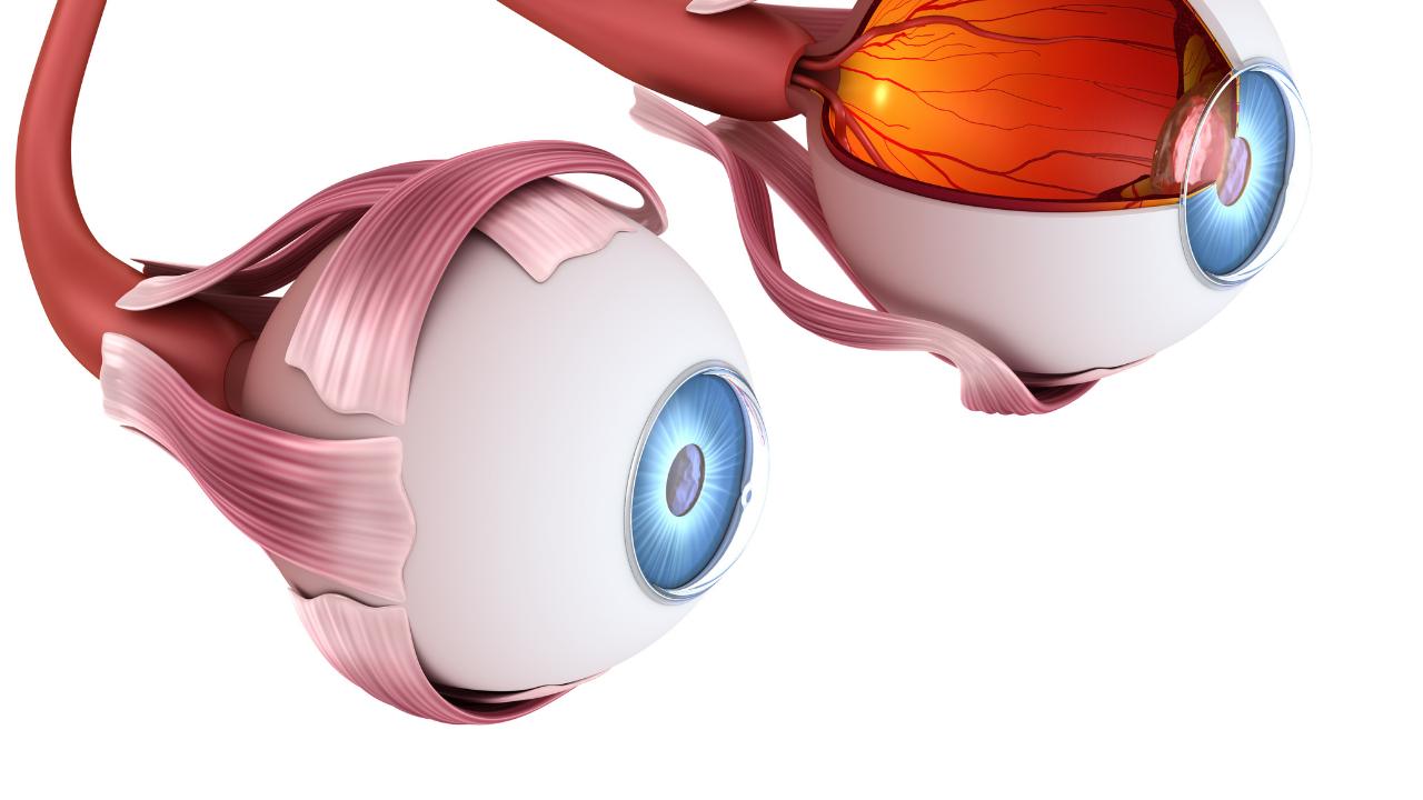 Two human eyes model.