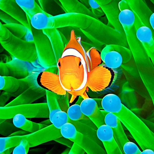 A colorful clownfish have a symbiotic relationship with anemones.