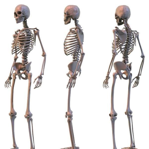 3 skeletons of Human Bones