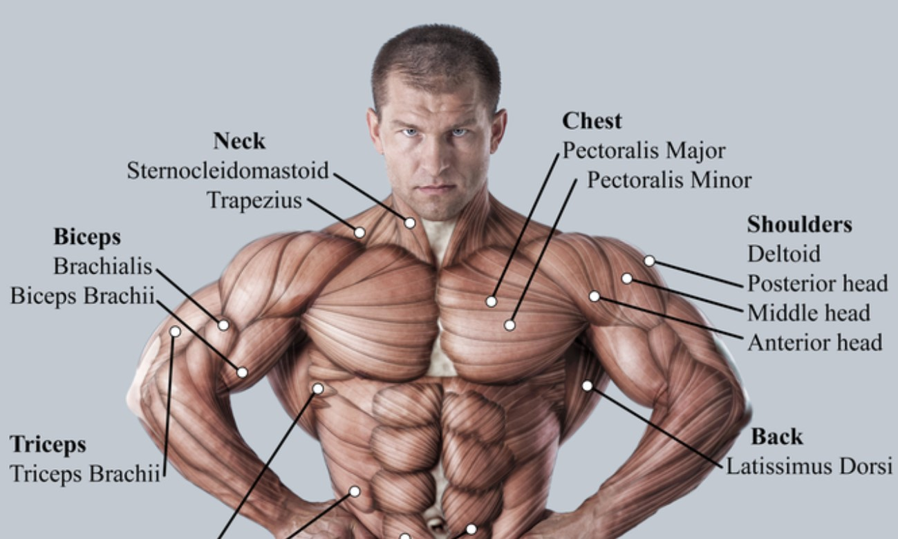 A muscular man's upper body, with the names of each muscle.