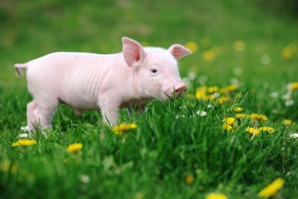A piglet.