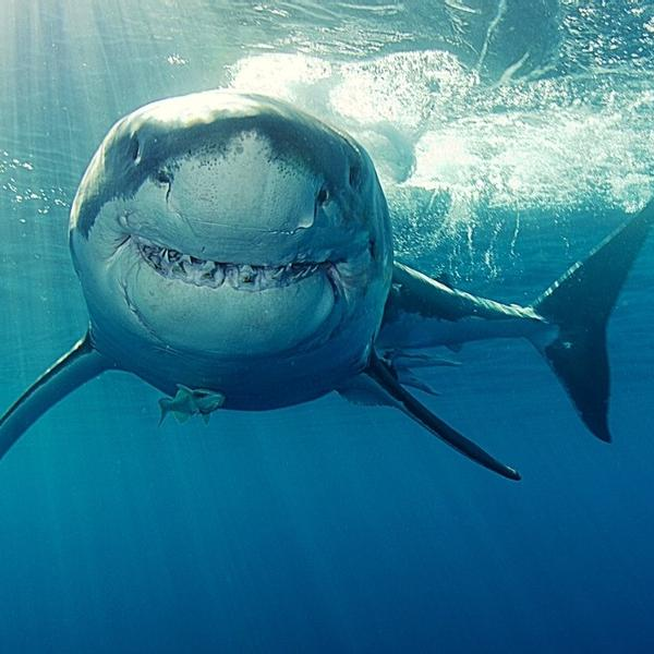 A great white shark swimming looks like he is smiling.