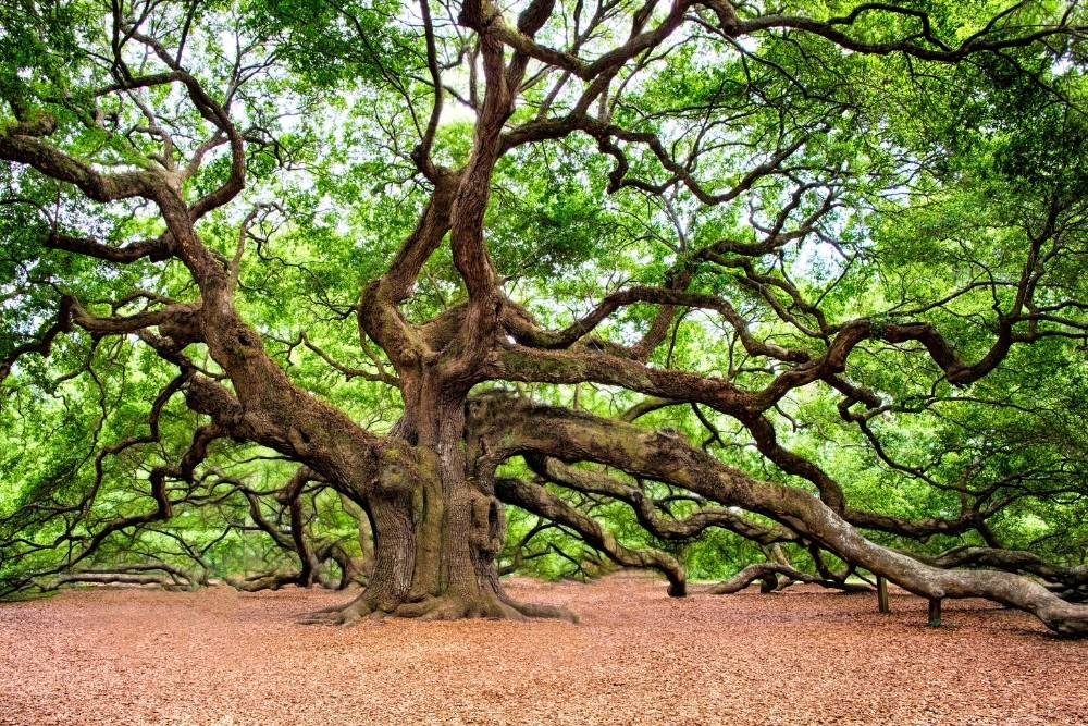 An ancient old tree with very big branches.