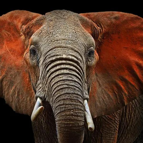 Beautiful African elephant.