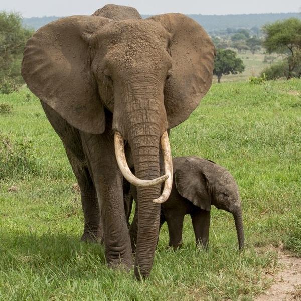 An adult elephant and a cub.