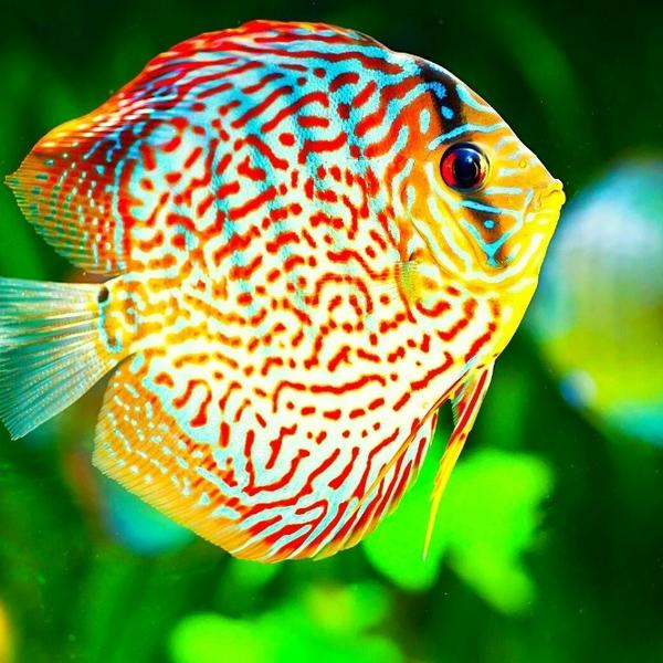 A colorful Discus fish swimming up in an aquarium.