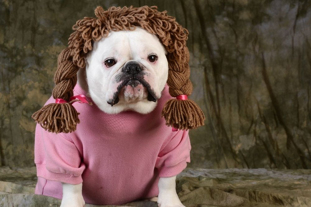 A funny dog with a wig