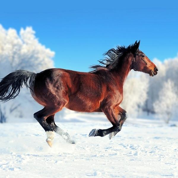 A brown horse is running in the snow.