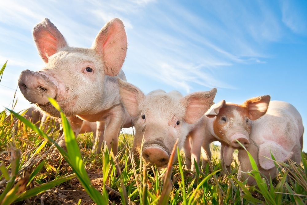 A pig and 2 piglets.