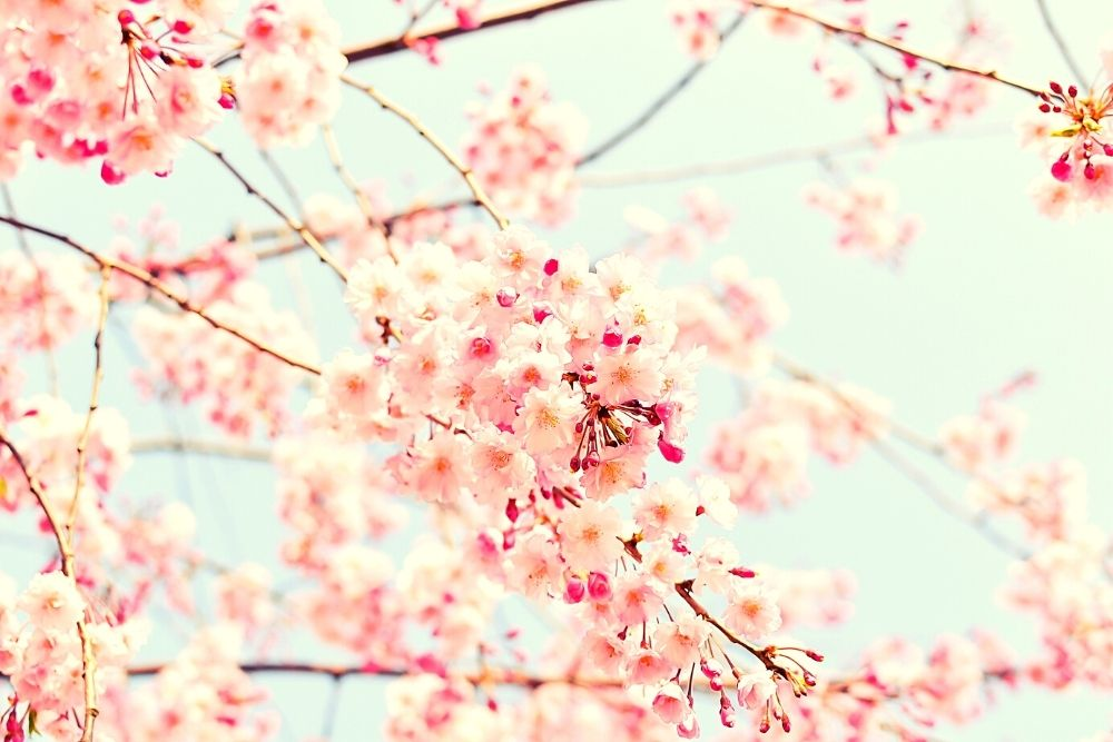 Blooming pink cherry blossom in the spring.