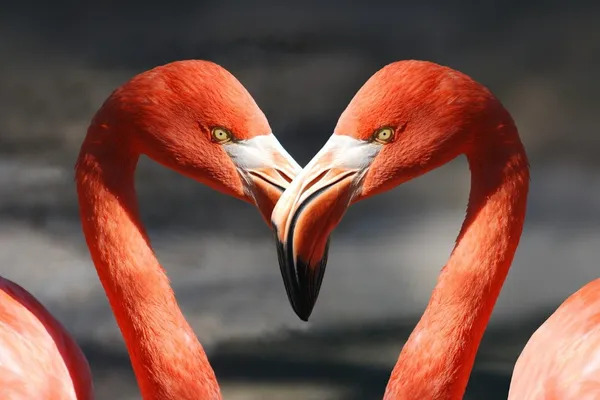Two flamingos creating the love heart shape