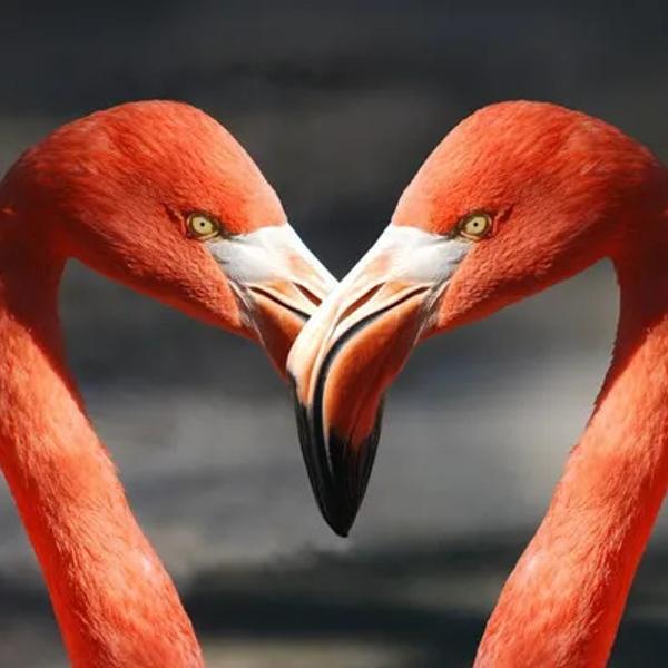 Two flamingos creating the love heart shape