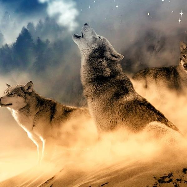 A wolf's pack is running and howling.