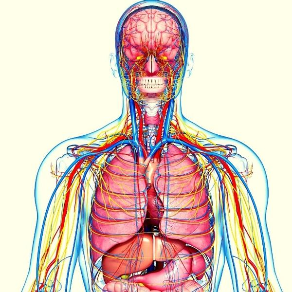 A human body animation model with veins, muscles and more.