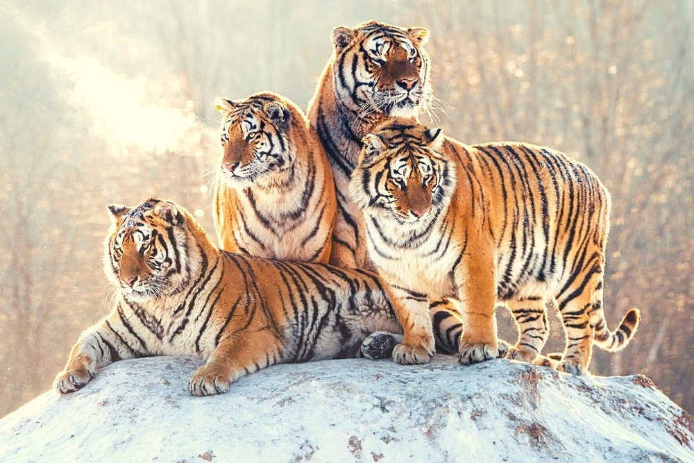 Four wild young Tigris from the animal kingdom in Africa.