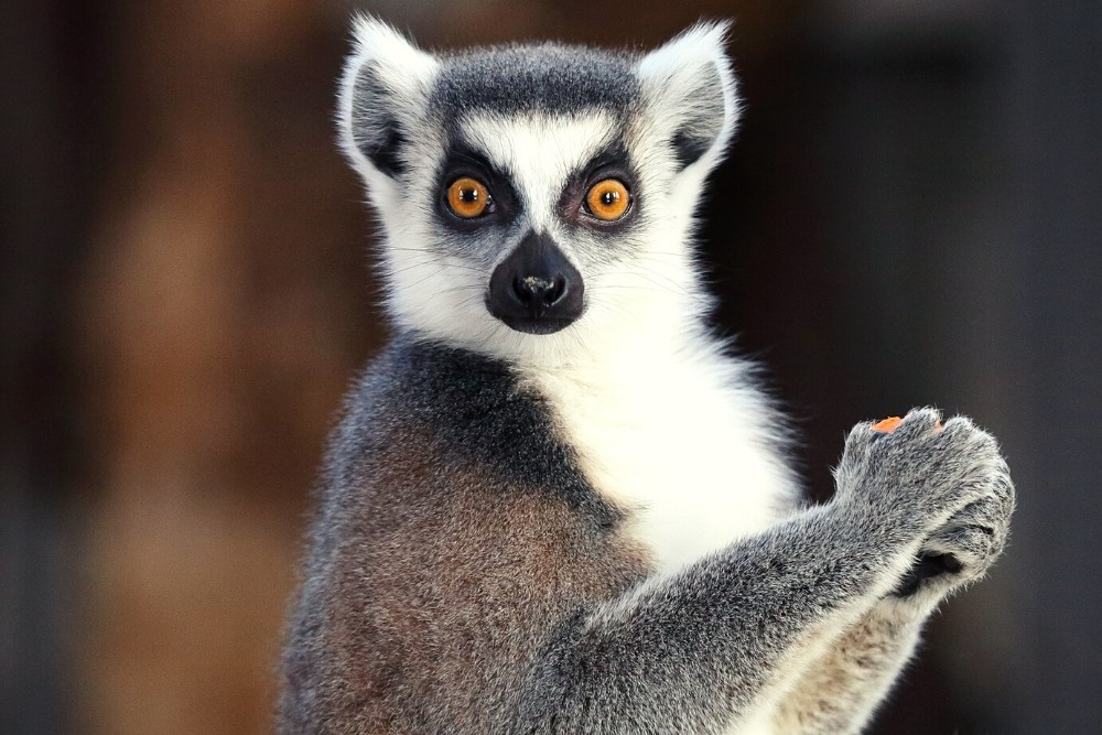 A funny animal - Lemur looking at you.
